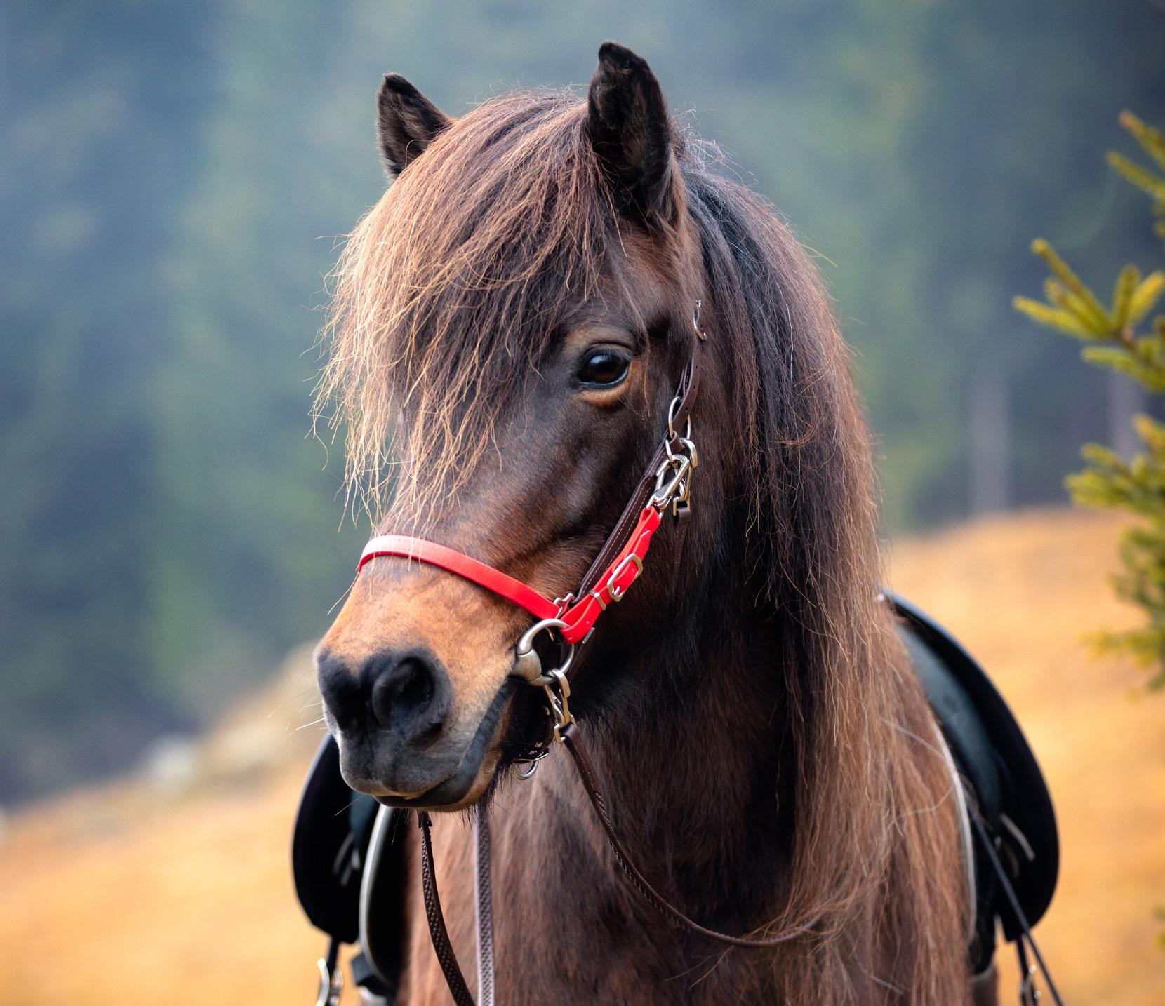 Wanderreittrense_Pferd_braun_rot_front.jpg